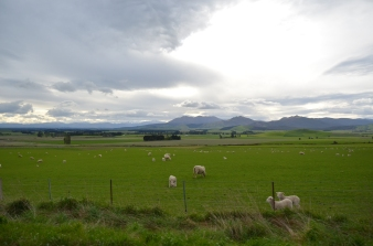 Leisurely Lambs