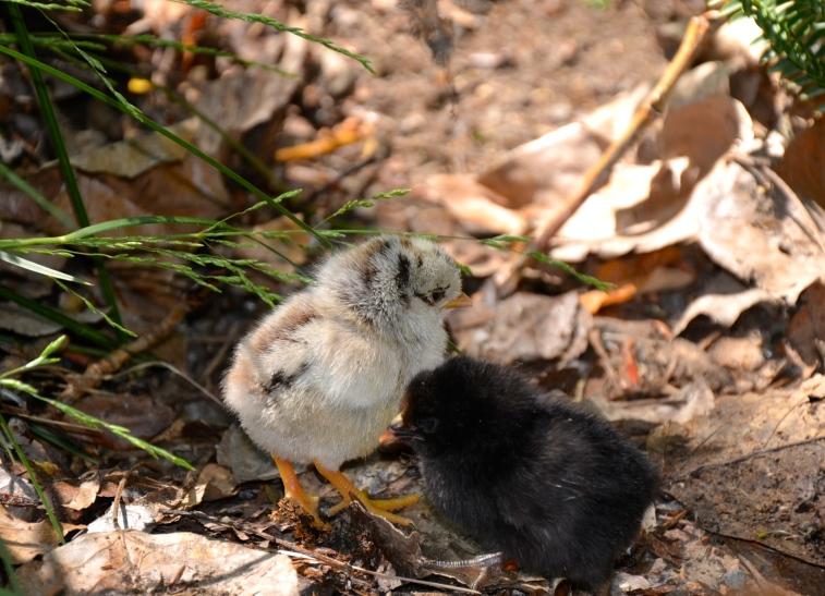 Chicka Chicka & Boom Boom