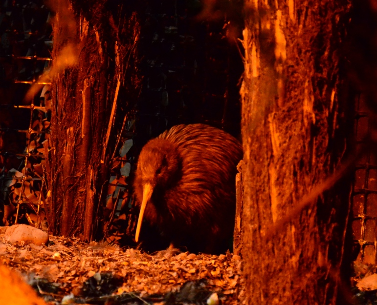 The country's famous, shy, flightless icon pops out for a peep!