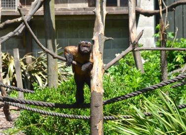 Capuchin Stare Down