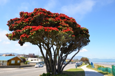 Pōhutukawa (Christmas Tree)