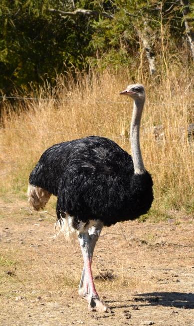 Ostrich Territory