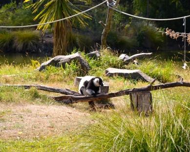 Merry Lemur