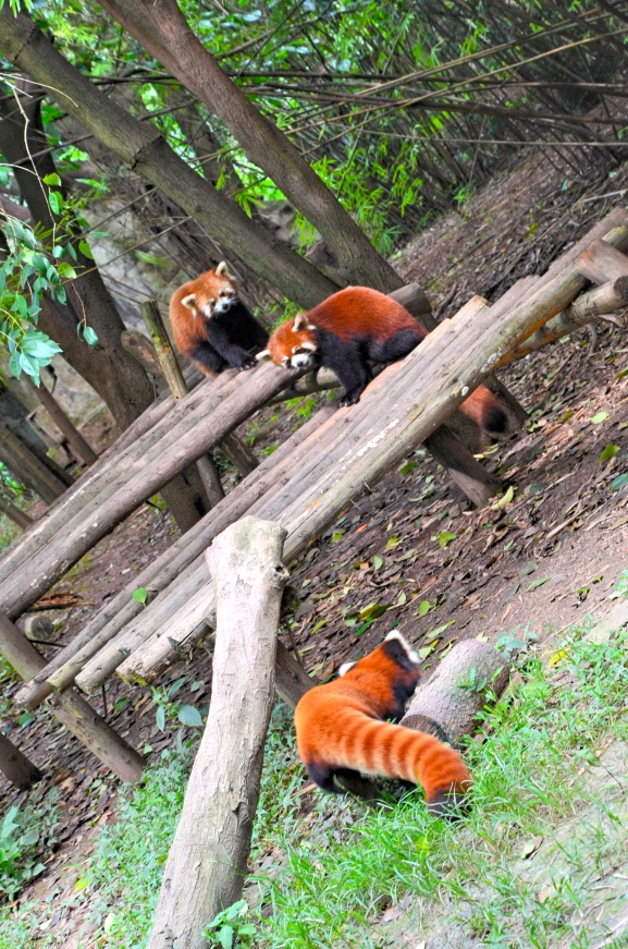 Red Panda Playtime